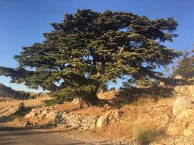 Cèdre de Liban :)